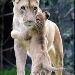 lion_hug-206x300